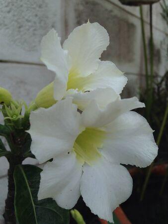 Closeup of white blossom Impala lily