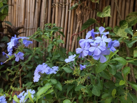 auriculata: Purple flowers name Plumbago auriculata Lam. Stock Photo