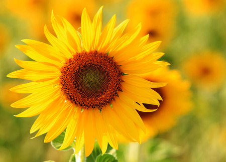 vibrance: close up one beautiful sunflower blossom is outstanding and solitary from all in meadow Stock Photo