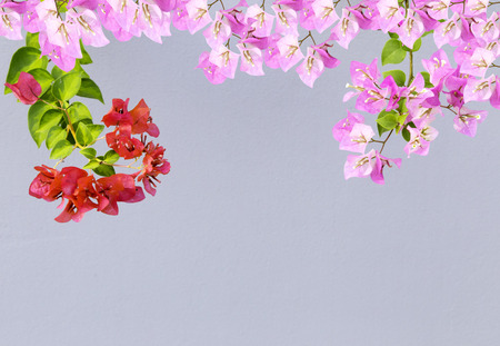 bougainvilleas: frame of pink and red bougainvilleas on gray background
