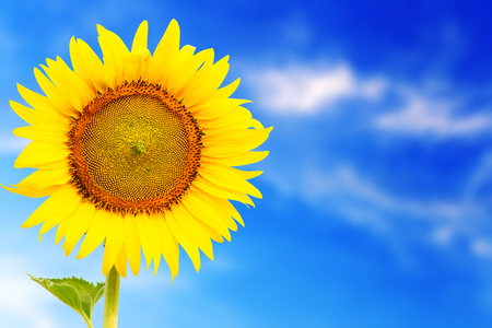 outstanding: fresh blossom sunflower outstanding in sunnyday with blue sky background Stock Photo