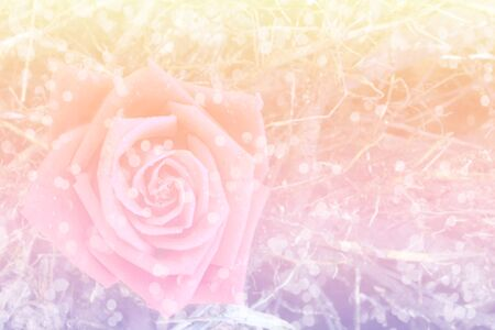 dreamy: sweet dreamy of pink rose with Bokeh light , soft focus Stock Photo