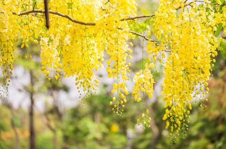backgorund: backgorund of yellow flowers , Cassia javanica