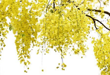 leguminosae: yellow flowers , Cassia javanica on white background Stock Photo