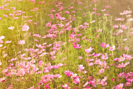 sweet dreamy and de-focused , pink Cosmos meadow with sun flare in sunny day