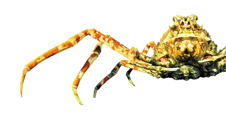 Japanese spider crab isolated on white background.