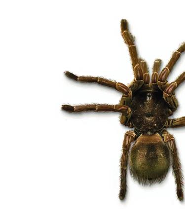 Goliath tarantula isolated on white background. Stock Photo