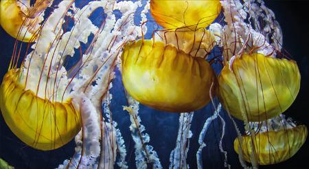 Vibrant Orange Black Sea Nettle Jellyfish
