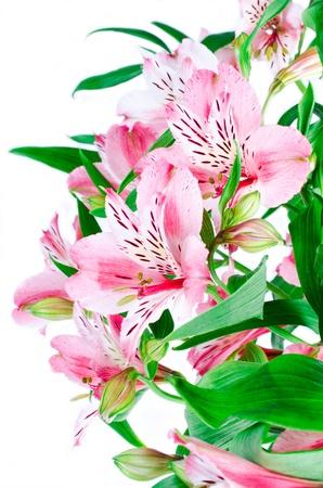 Pink flowers of phalaenopsis photo