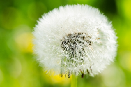 traquil scene: Dandelion on background green grass close up