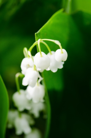 Sweet lily of the Valley spring Stock Photo - 13649004
