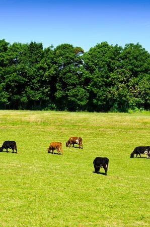 Cows on a green meadow Stock Photo - 14796228