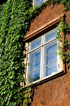 ivy league: Window with green ivy.