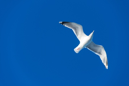 An image of a beautiful seagull in the bright blue sky Stock Photo - 18052469
