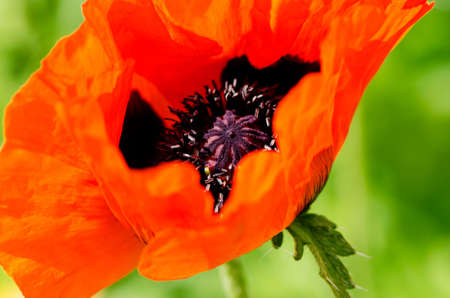 Poppy Flowers Papaver rhoeas in Spring close up photo