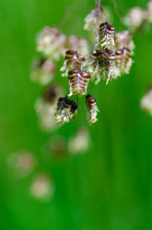 wild grass: Hierba silvestre madura Foto de archivo