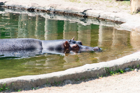 amphibious: Hippopotamus in a pool at zoo Stock Photo
