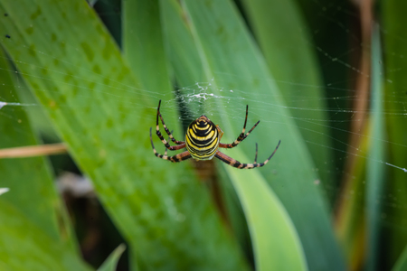 Wasp spider - Argiope bruennichi photo