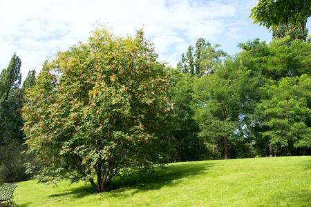guelder: Guelder rose tree in Oslo botanical garden