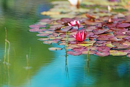 waterlily: Red waterlily in garden pond