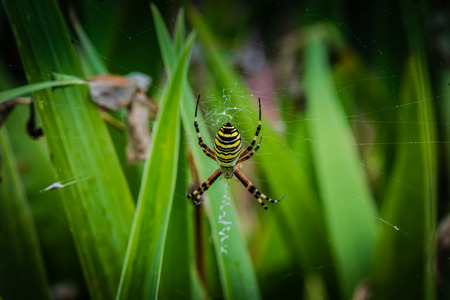 bruennichi: Wasp spider on web - Argiope bruennichi Stock Photo