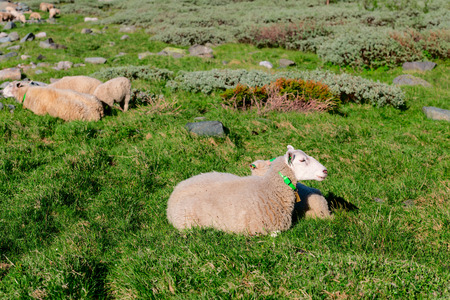 ovine: Sheep at Norway mountains