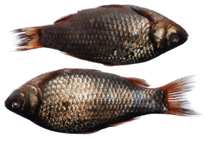 crucian: close-up of two crucian fish on white Stock Photo