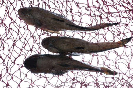 bullhead fish: three goby fish in mesh on white Stock Photo
