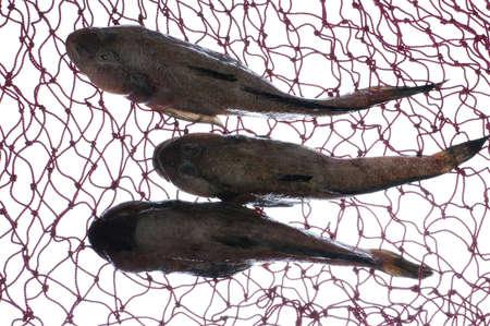 goby: tre ghiozzi pesce in maglia bianco sulla  Archivio Fotografico