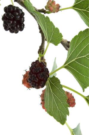 haemoglobin: mulberry branch on white Stock Photo
