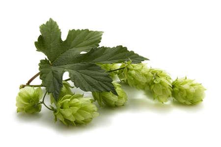ferment: golden hops on white Stock Photo
