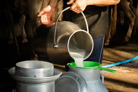 Dairy farming, worker is pouring fresh milk that got from milch cow pour down to the tank, Its the filtration contaminants process.