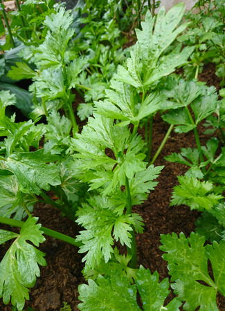 Green Coriander or Coriandrum sativum L. in the organic farm.This is the good vegetable for healthy.
