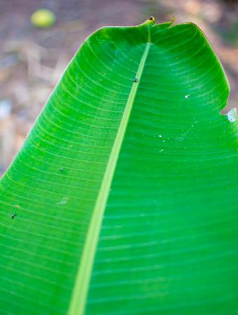 Green banana leaves. A banana leaf seem like green mix with dark . Image in blurred background