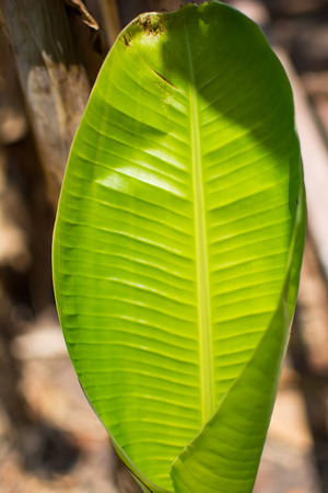 Green banana leaves. A young leaf of banana seem like green mix with yellow. Image in blurred background