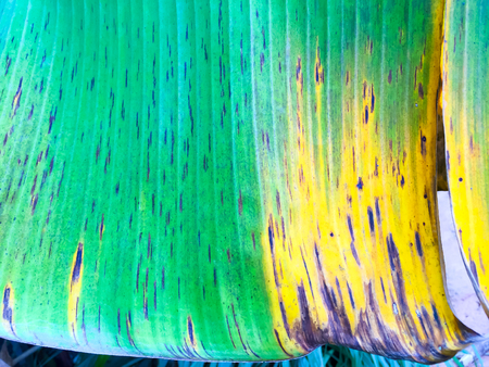 Texture of banana green leaves. The old banana leaf, seem like green mix with dark and small balck and yellow point. Image in blurred background