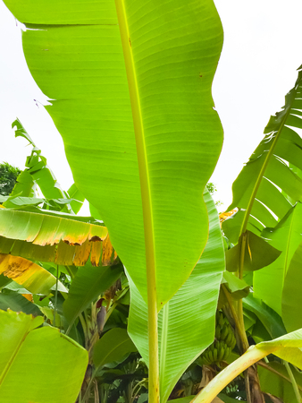 Texture of banana green leaves. A young leaf of banana seem like green mix with yellow. Image in blurred background Banco de Imagens