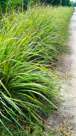 Lemongrass or Lapine or Lemon grass or West Indian or Cymbopogon citratus were planted on the ground. It is a shrub, its leaves are long and slender green. It is an herb which was made into food and medicine. Banco de Imagens