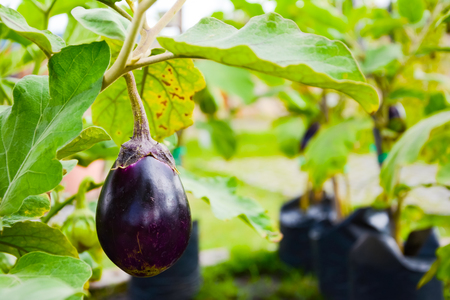 Purple Eggplant or Brinjal or Aubergine or Garden egg or Guinea squash or Solanum melongena
