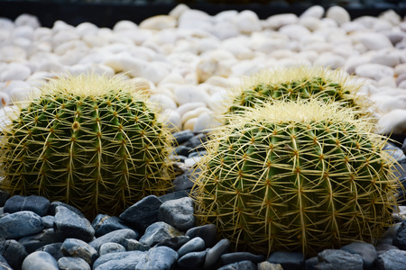 Golden barrel cactus or Echinocactus grusonii Hildm, this is the desert tree which were many thorns , its body look like the green ball and brown flower. This is the garden plant that growth outdoors. 版權商用圖片