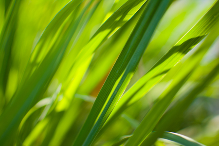 Lemongrass or Lapine or Lemon grass or West Indian or Cymbopogon citratus were planted on the ground. It is a shrub, its leaves are long and slender green. It is an herb which was made into food and medicine. Imagens