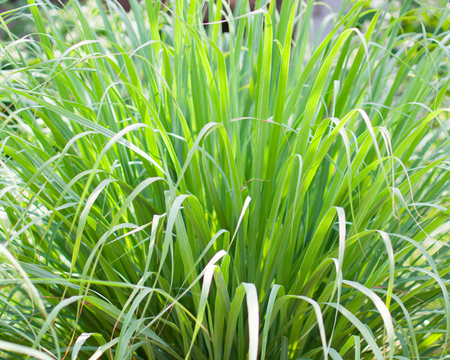 Lemongrass or Lapine or Lemon grass or West Indian or Cymbopogon citratus were planted on the ground. It is a shrub, its leaves are long and slender green. It is an herb which was made into food and medicine. Standard-Bild - 123381012