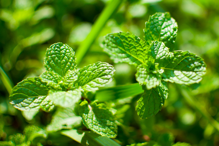 Peppermint leaf or Kitchen Mint or Marsh Mint or Metha cordifolia Opiz were planted on the ground. Its leaves are small, rough and it has a green color. It is a herb made as food and medicine.