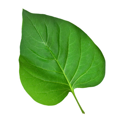 greening: Green leaf. Isolated on a white background