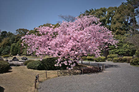 Cherry tree in a garden during spring in kyoto, japan