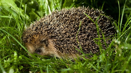 Common hedgehog looking for prey to hunt Stock Photo