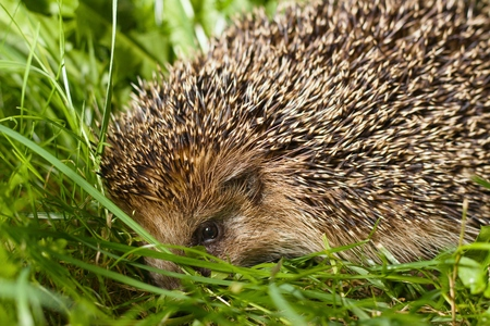 Head of common hedgehog in taller grass