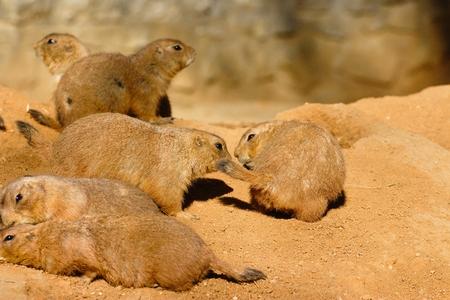 黒尾プレーリードッグ リラックスをしたり、砂の生息地でのグループ