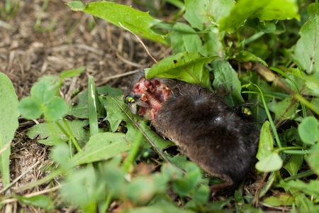 Dead body of a mouse being devoured by flies