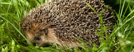 Widescreen side view of a hedgehog Stock Photo